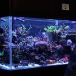 SPS Dominated Display Reef Aquarium