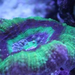 Green and Purple Scolymia