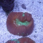 Red and Green Wellsophyllia