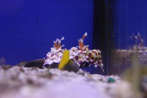 Hawaiian Harlequin Shrimp Pair