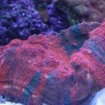 Red Chalice in display reef