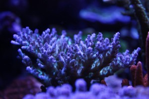 Gorgeous Acropora Colony