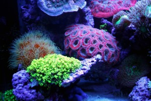 Neon Green Starburst Polyps and Acan