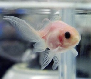 See-through Goldfish