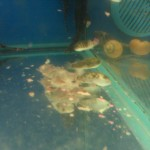 Decaying Dead Fish in Walmart Aquariums