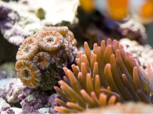 Acan and Rose Bubble Tip Anemone