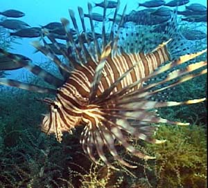 Volitan Lionfish in Atlantic Waters