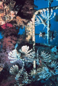 Group of Lionfish on Structures in Atlantic Ocean