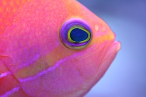 Squarespot Anthias Closeup