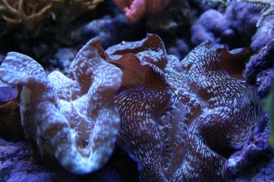 Tridacna clams Next to Each Other