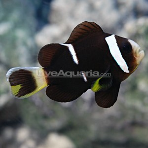 Tank Bred McCulloch's Clownfish