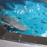 Whale Shark Exhibit at the Georgia Aquarium