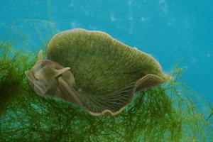 Elysia chlorotica Sea Slug