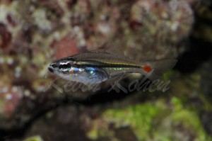 Red Spot Glass Cardinalfish