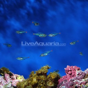 Redspot Cardinalfish Breeding by LiveAquaria AquaNerd