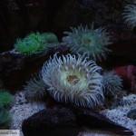 Coldwater Anemone Aquarium