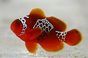 Lightning Maroon Clownfish on Blue Zoo