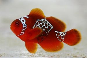 Lightning Maroon Clownfish on Blue Zoo