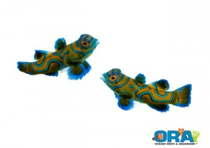 ORA Blue Mandarin Goby
