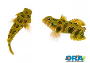 ORA Spotted Mandarin Goby