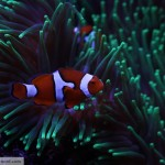 Percula Clownfish