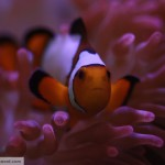 Snowflake Clownfish in RBTA