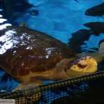 Turtle in South Pacific Aquarium