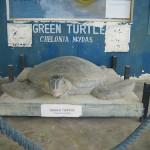 WWF Green Sea Turtle Sculpture