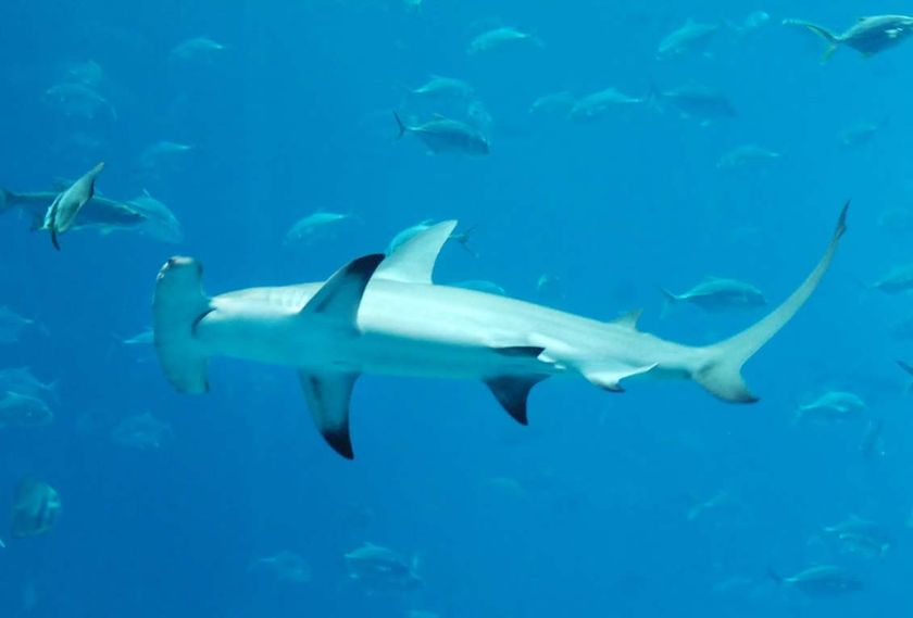 Protection For Two Shark Species Fails Aquanerd
