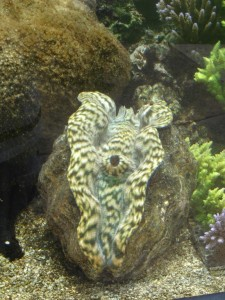 Derasa Clam at Waikiki Aquarium