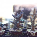 MARSH Frag Swap Acropora Coral