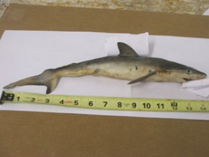 Shark in Tennessee River