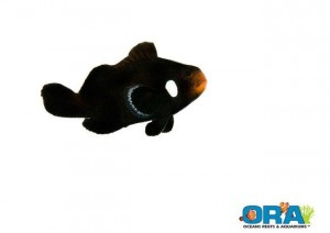 ORA Domino Clownfish