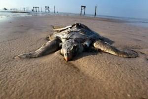 Dead Sea Turtle From BP Oil Spill