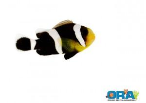 ORA Black Polymnus Saddleback Clownfish