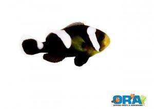ORA Black Polymnus Misbar Saddleback Clownfish