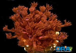 ORA Red Goniopora