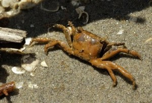 Oil Covered Crab from BP Oil Spill