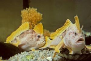 Ziebells Handfish