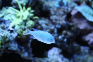 Blue Green Reef Chromis
