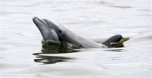 Dolphin Swimming Near Oil Spill