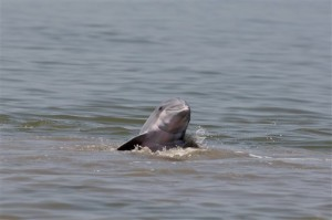 Dolphin Fleeing Gulf Oil Spill
