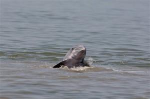 Dolphin Fleeing Gulf Oil Spill
