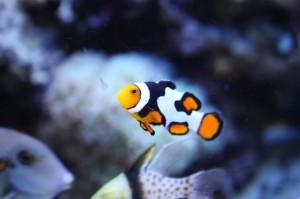 ORA Grade A Picasso Clownfish