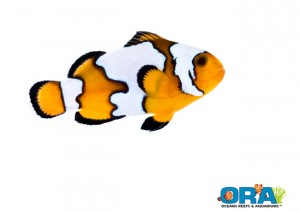 ORA's new Black Ice Semi-Snowflake Clownfish