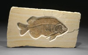 Phareodus Fossil Decor