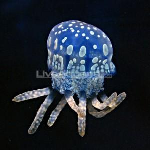 Gorgeous Blue Mastigias papua Jellyfish