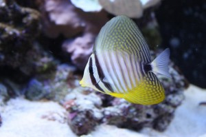 Juvenile Red Sea Desjardini Sailfin Tang