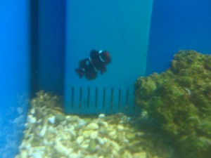 Maroon Clownfish with Spots