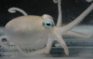 New Octopus Species discovered in the Antarctic